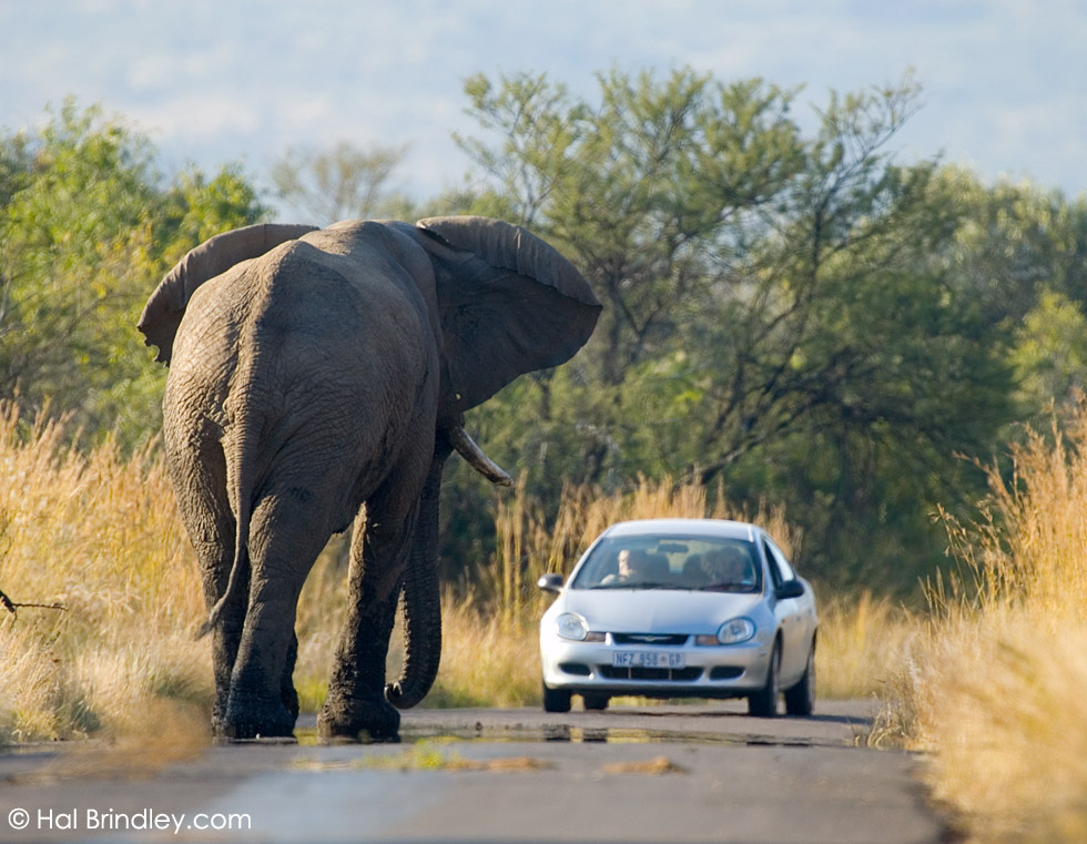 African Elephant (Loxodonta africana) standing in road in Pilanesberg National Park, South Africa