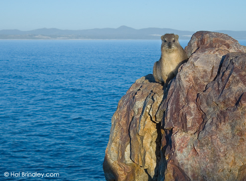 Rock Hyrax (aka Dassie) (Procavia capensis) next to the Atlantic Ocean in Hermanus, Western Cape, South Africa
