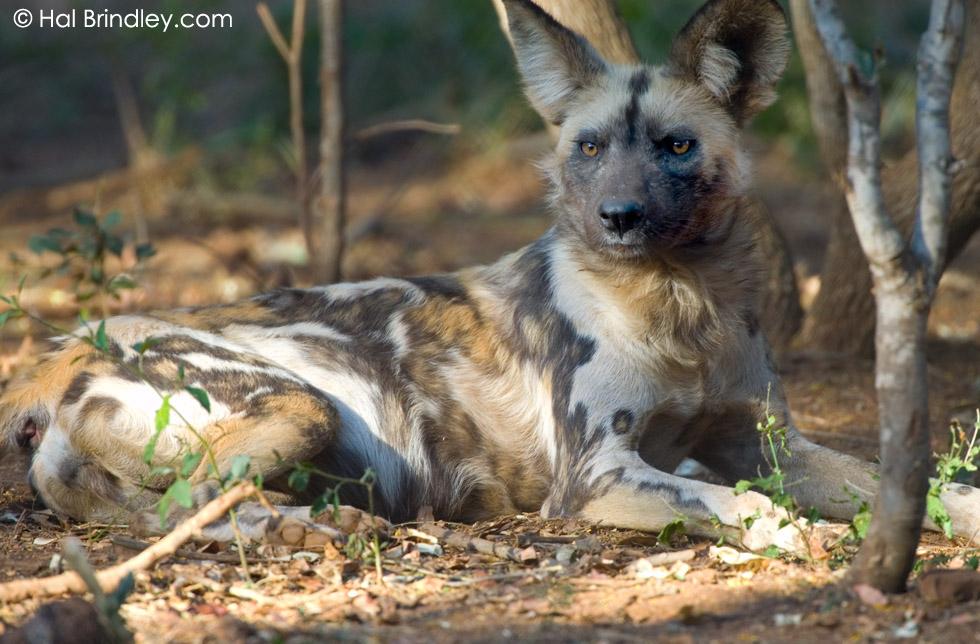 African Wild Dog (Lycaon pictus) captive, DeWildt Reserve, DeWildt South Africa
