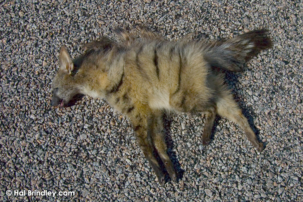 Aardwolf (Proteles cristata) killed on road in Kalahari Desert South Afric