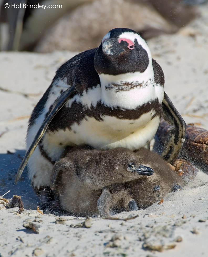 two African Penguin chicks huddle under parent on beach (Spheniscus demersus) Boulders National Park, Simonstown, South Africa