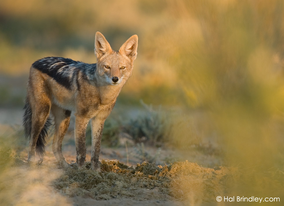 Black-backed Jackal (Canis mesomelas) feeding in pile of dung, Kalahari, Kgalagadi Transfrontier Park, South Africa