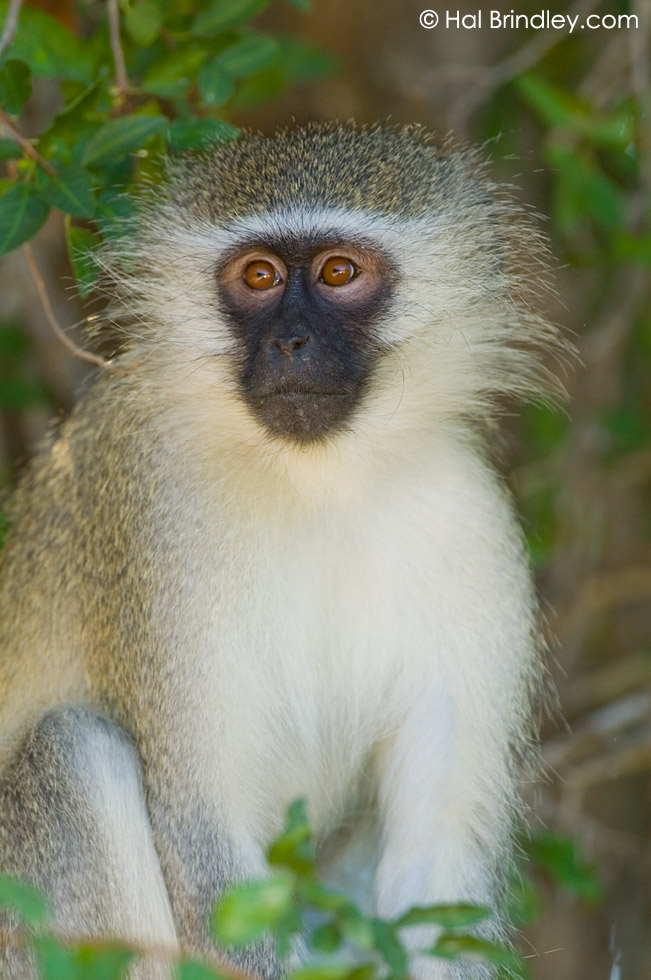 Vervet Monkey (Cercopithecus aethiops pygerythrus) Kruger National Park South Africa