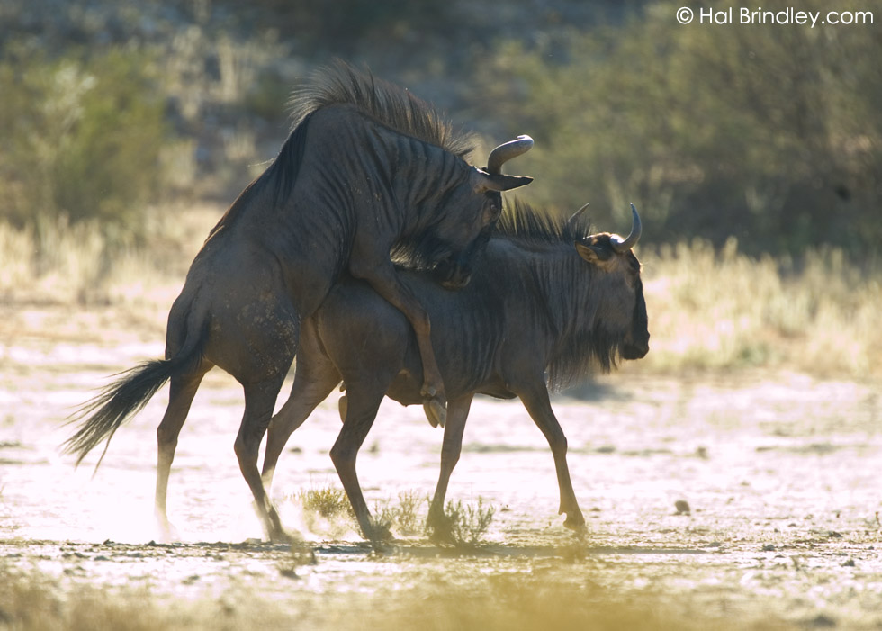 mating Blue Wildebeest (Connochaetes taurinus) Kalahari, Kgalagadi Transfrontier Park, South Africa