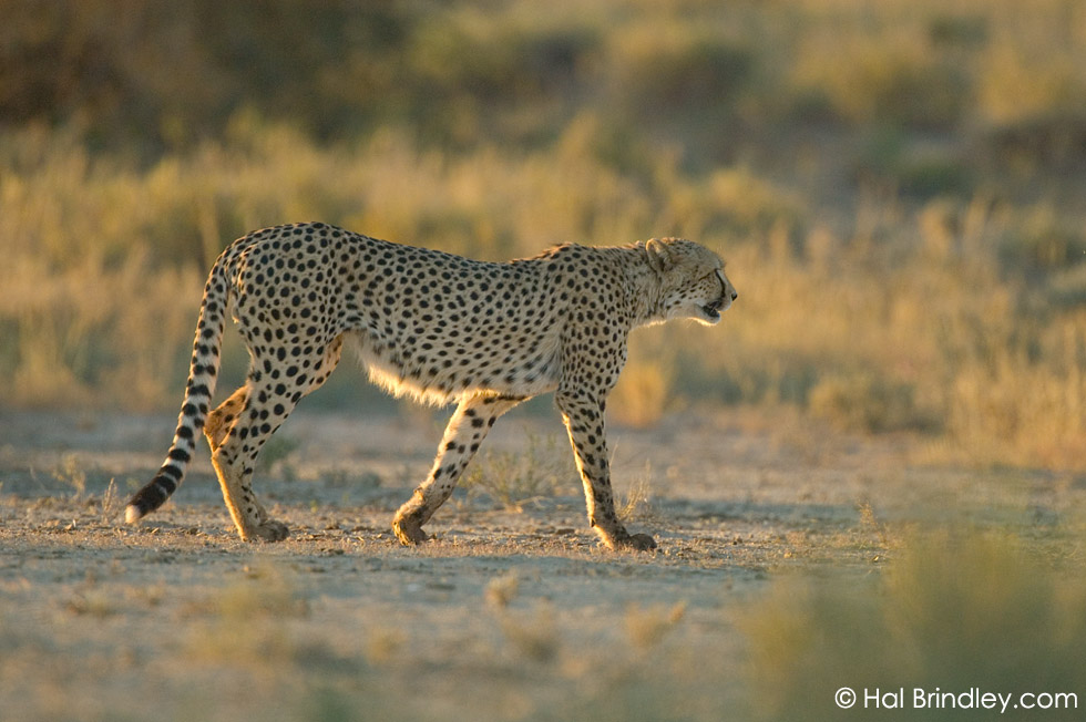 Cheetah (Acinonyx jubatus) at sunset in the Kalahari Desert, Kgalagadi Transfrontier Park, South Africa