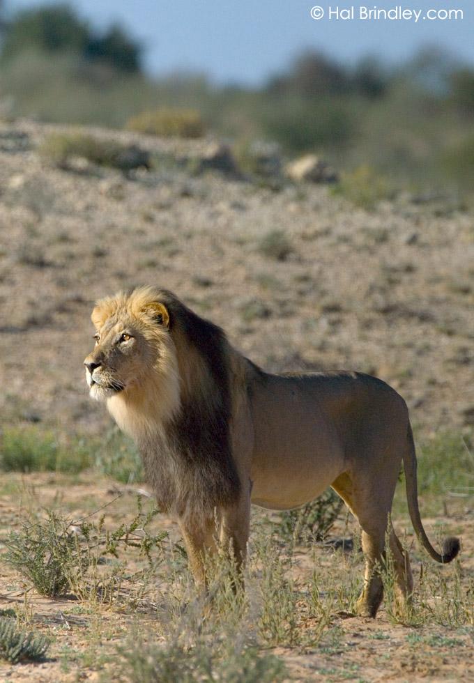 male Lion (Panthera leo) Kalahari, Kgalagadi Transfrontier Park, South Africa