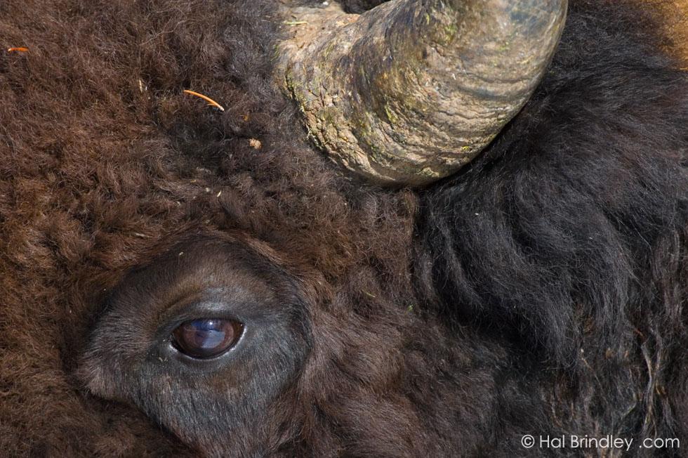 Bison (aka Buffalo) Yellowstone Nat'l Park, Wyoming, USA
