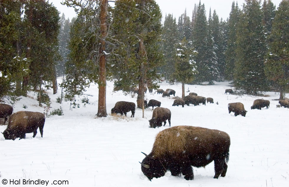 Bison grazing in a snowstorm. Yellowstone National Park, USA
