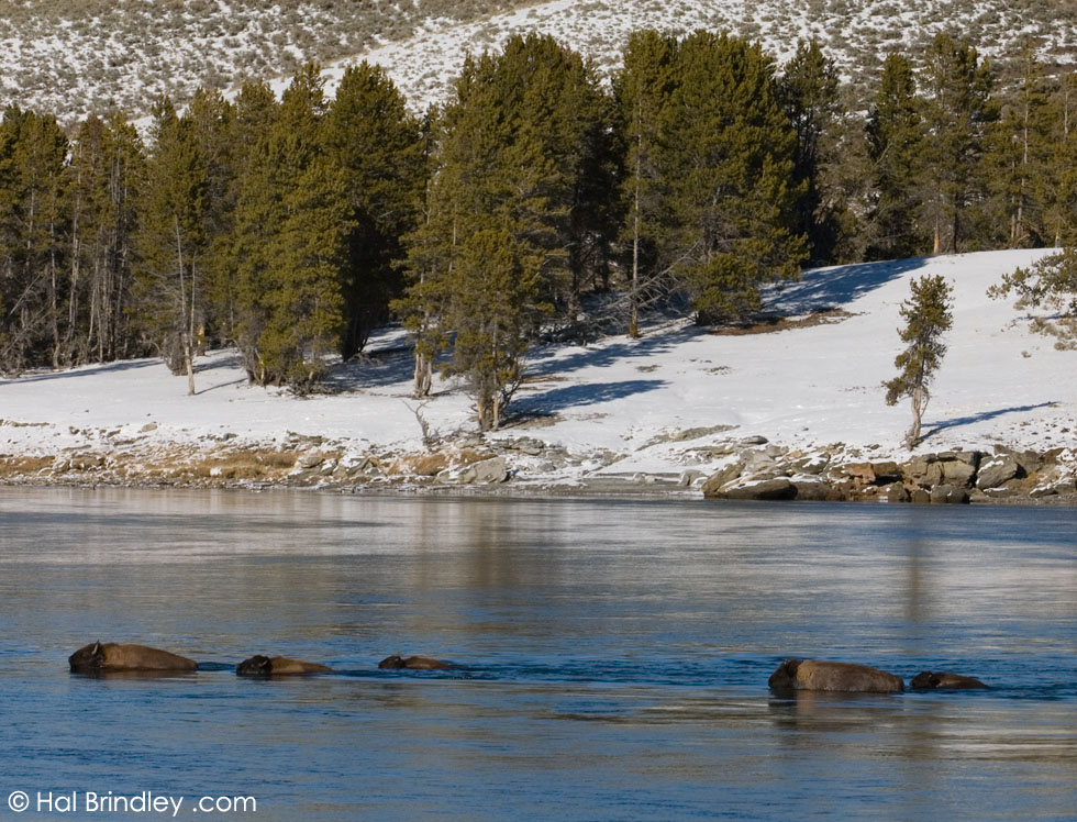 Bison swimming across Yellowstone River, Yellowstone National Park