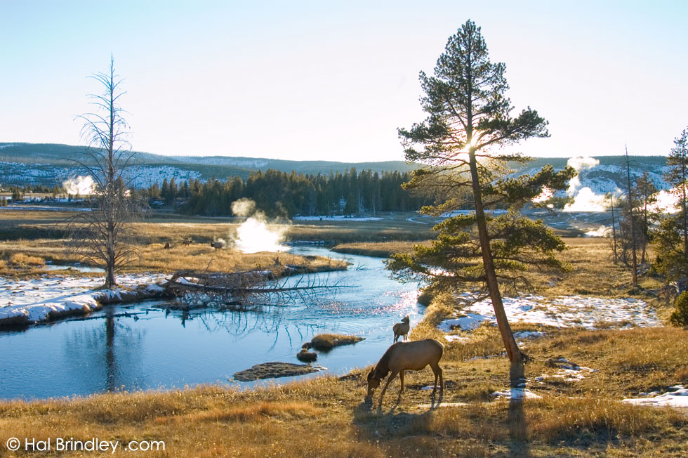 Elk in the lower geyser basin in Yellowstone NP