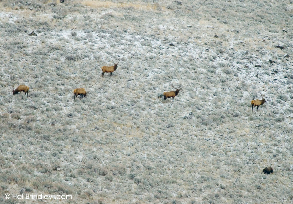 Elk (Cervus elaphus) & Grizzly Bear (Ursus arctos) Yellowstone Nat'l Park, Wyoming, USA