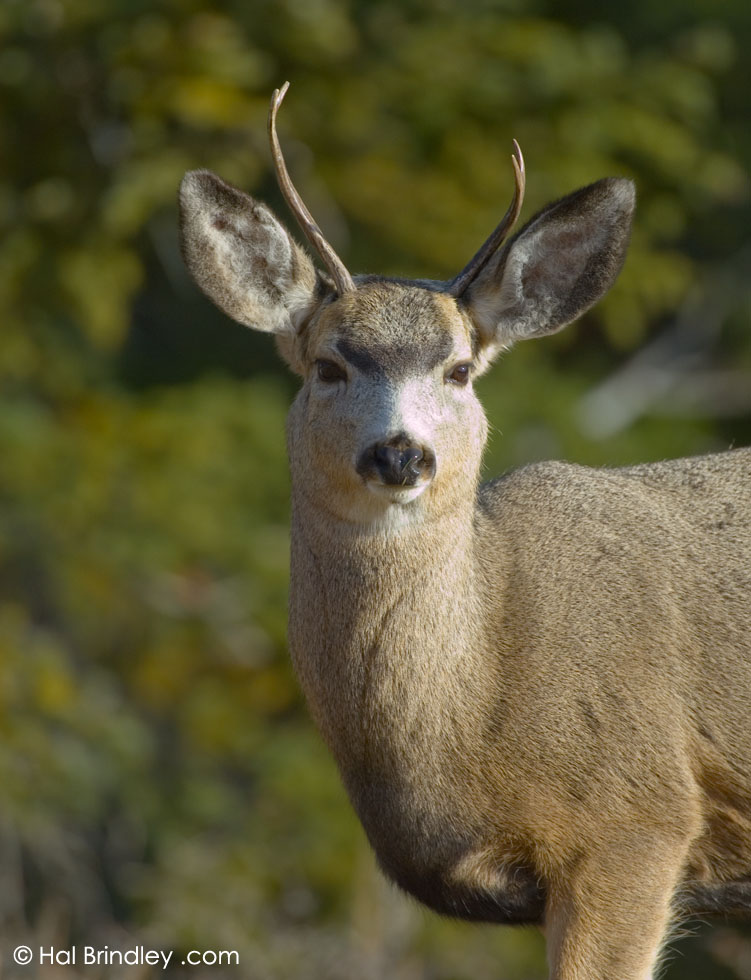 Mule Deer (Odocoileus hemionus) Yellowstone Nat'l Park, Wyoming, USA