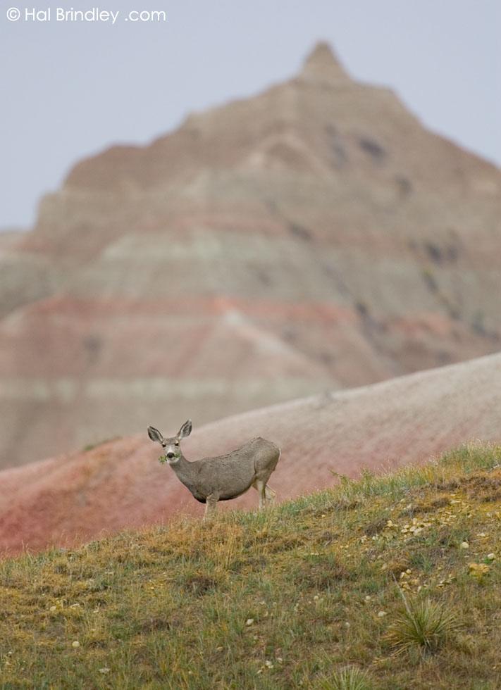 Mule Deer (Odocoileus hemionus) Badlands National Park, South Dakota, USA