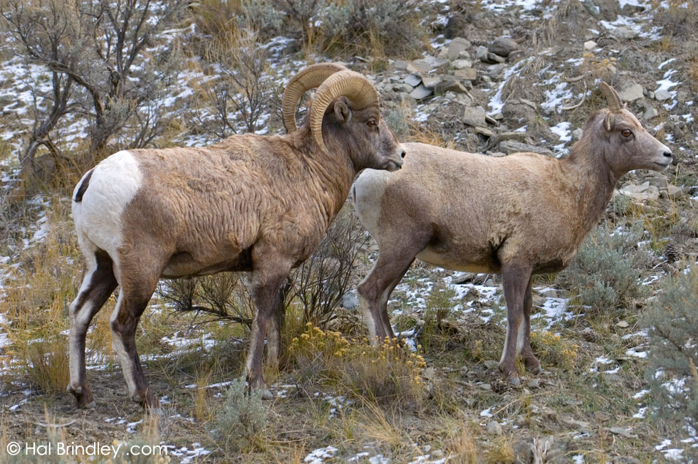 male and female Bighorn Sheep (Ovis canadensis) Yellowstone Nat'l Park, Wyoming, USA