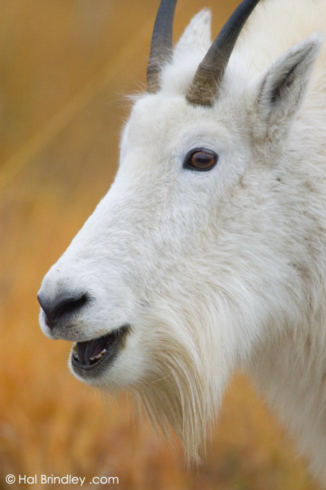 Mountain Goat (Oreamnos americanus) Mount Rushmore National Memorial, South Dakota, USA