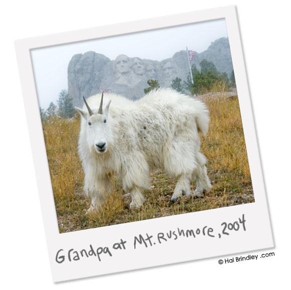 Mountain Goat tourist photo, Mount Rushmore
