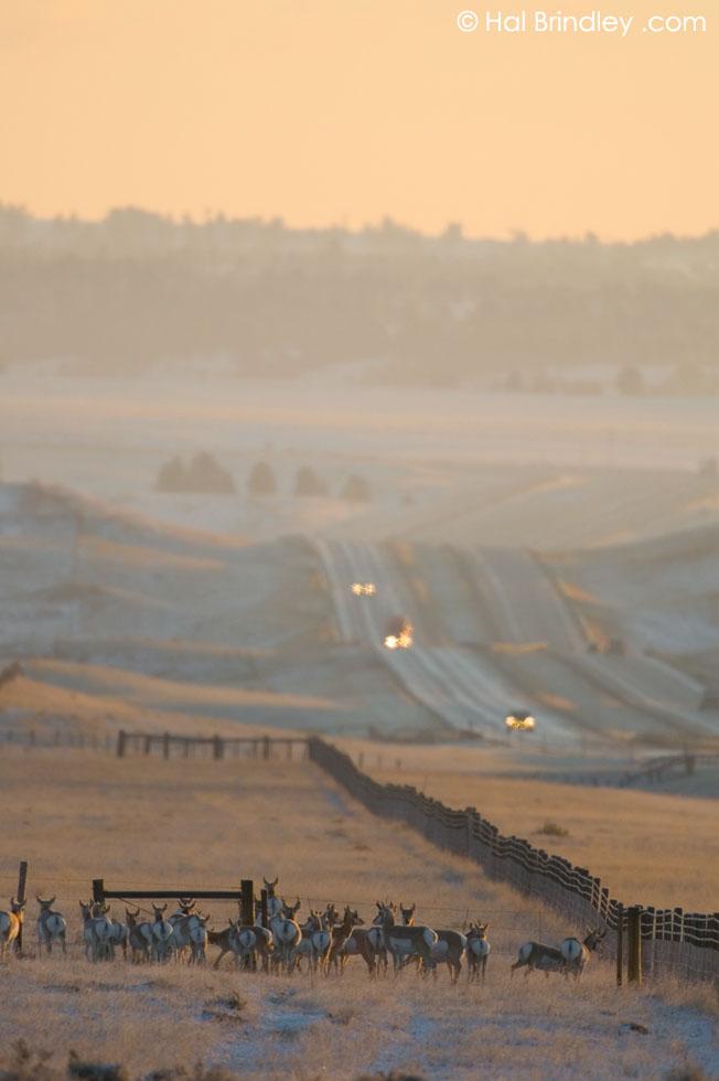 Pronghorn (Antilocapra americana) off interstate 90, NE Wyoming, USA