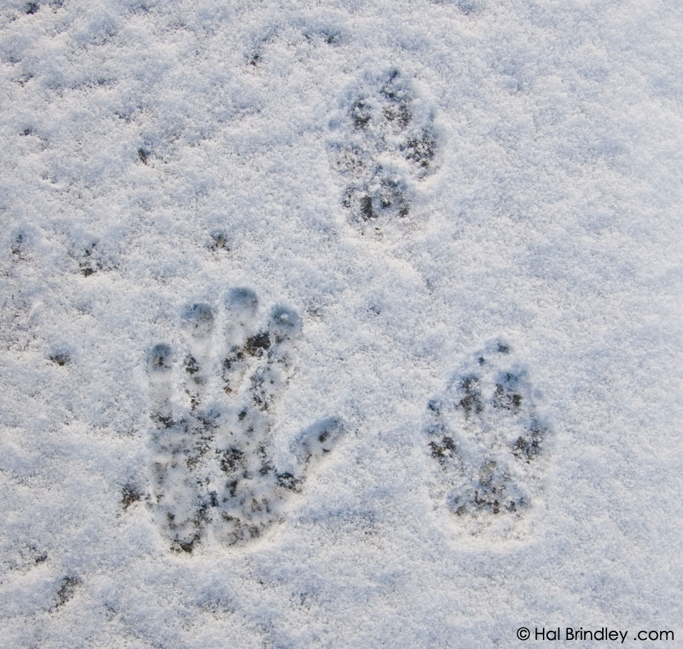 wolf prints in the snow, yellowstone national park, wyoming