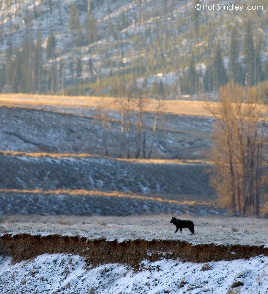 Gray Wolf (aka Timber Wolf) (Canis lupus) Yellowstone Nat'l Park, Wyoming, USA