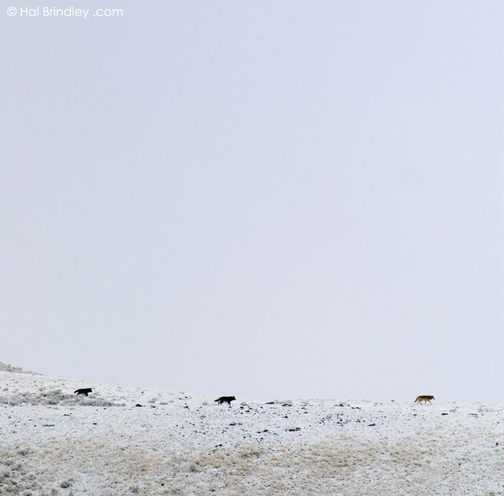 pack of Gray Wolves on a snowy ridge in Yellowstone Nat'l Park, Wyoming, USA