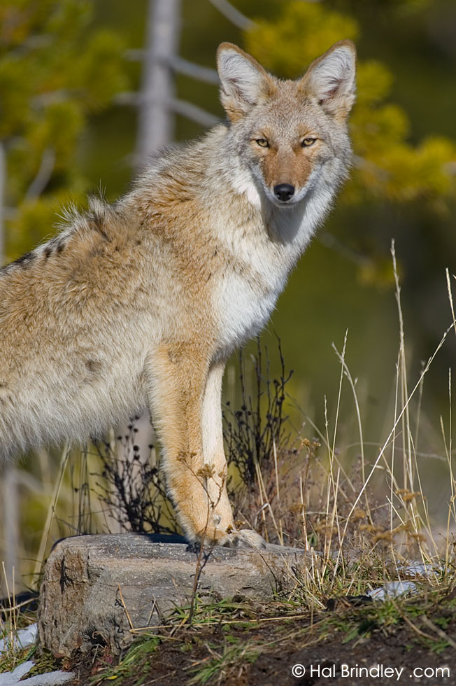 Coyote (Canis latrans) Yellowstone National Park, Wyoming, USA