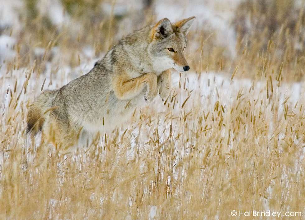 Coyote hunting (Canis latrans) Yellowstone National Park, Wyoming, USA