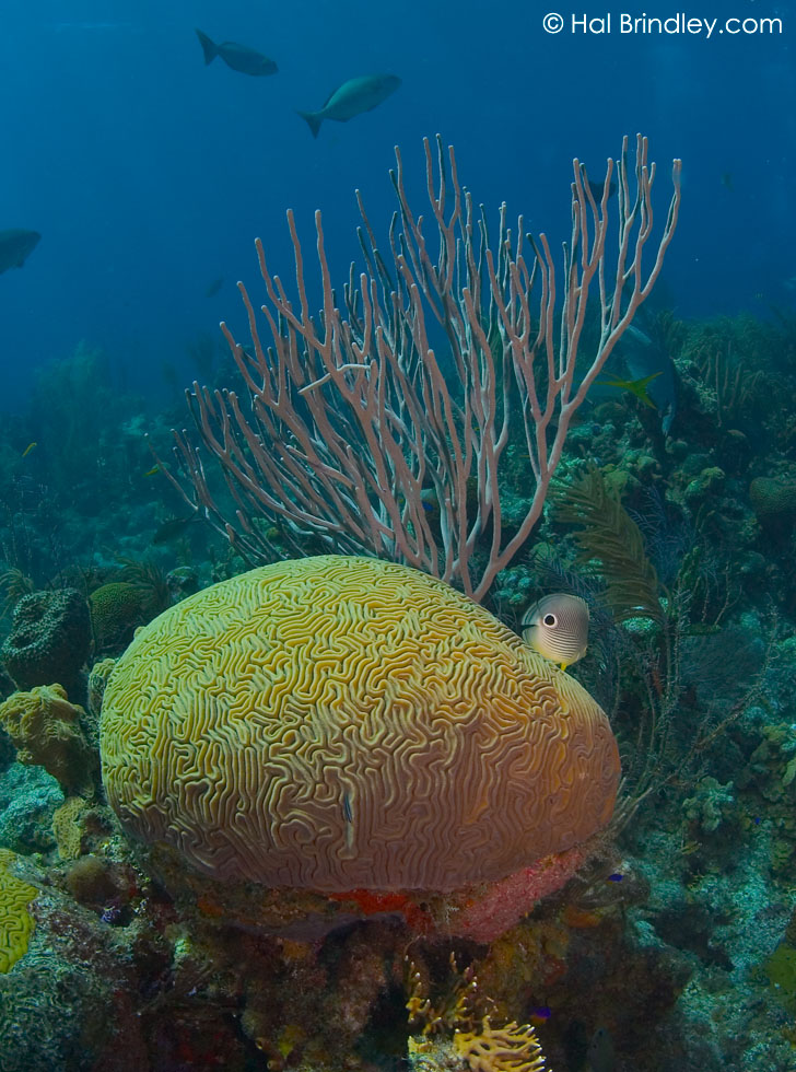 """Brain Coral and Four Eyed Butterfly Fish (Chaetodon capistratus) Location: """"The Aquarium"""" off Long Caye at Lighthouse Reef, Belize"""