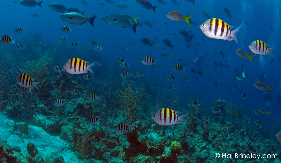 "Sergeant Majors (Abudefduf saxatilis) Location:""The Aquarium"" off Long Caye at Lighthouse Reef, Belize © Hal Brindley"