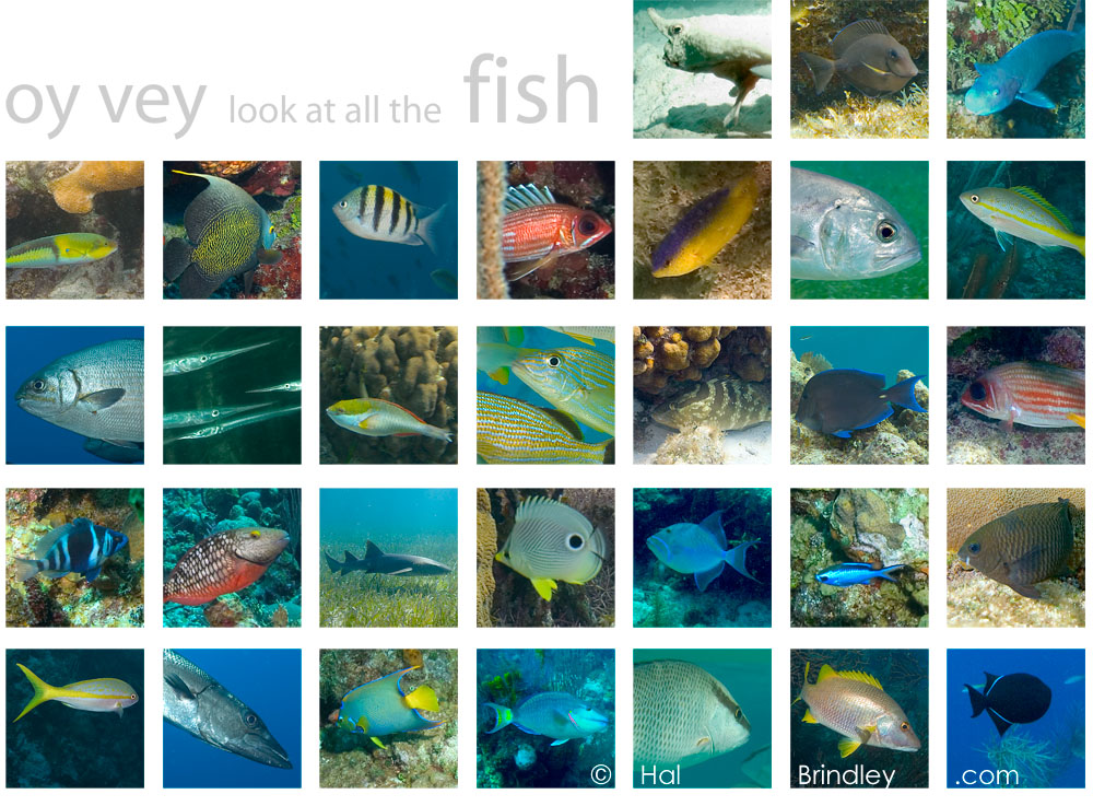 fish of belize by Hal Brindley