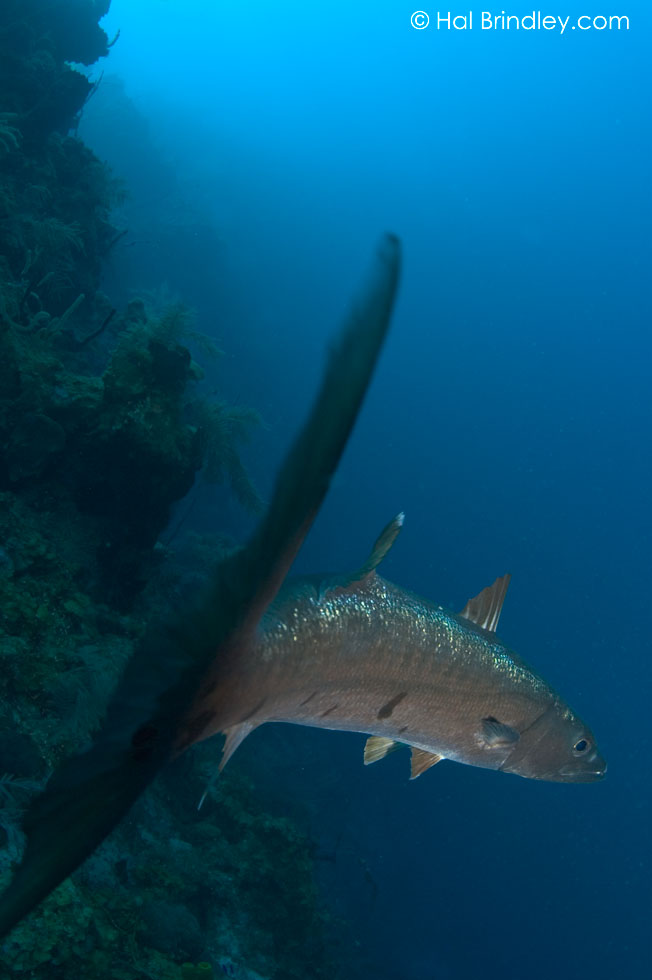 "Great Barracuda (Sphyraena barracuda) Location:""The Aquarium"" off Long Caye at Lighthouse Reef, Belize © Hal Brindley"