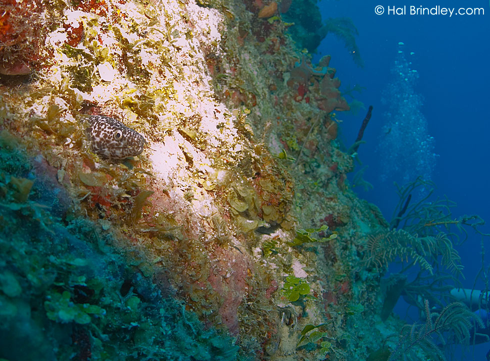 Black-Spotted Moray Eel (Gymnothorax favagineus) Location: Black Coral Wall, Turneffe Islands, Belize