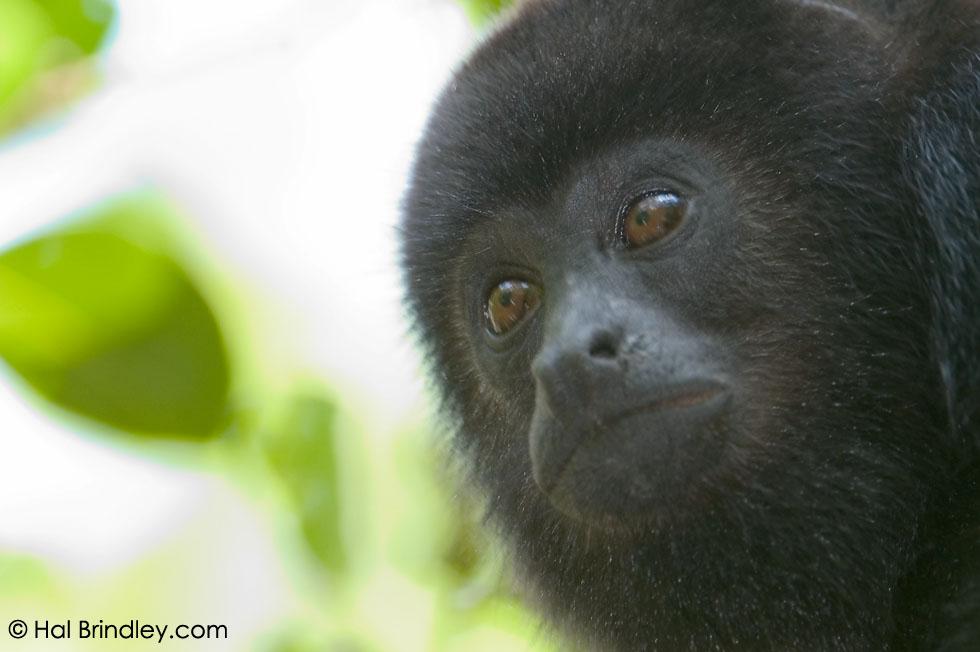baby Yucatan Black Howler Monkey (Alouatta pigra) Location: Community Baboon Sanctuary, Bermudian Landing Village, Belize