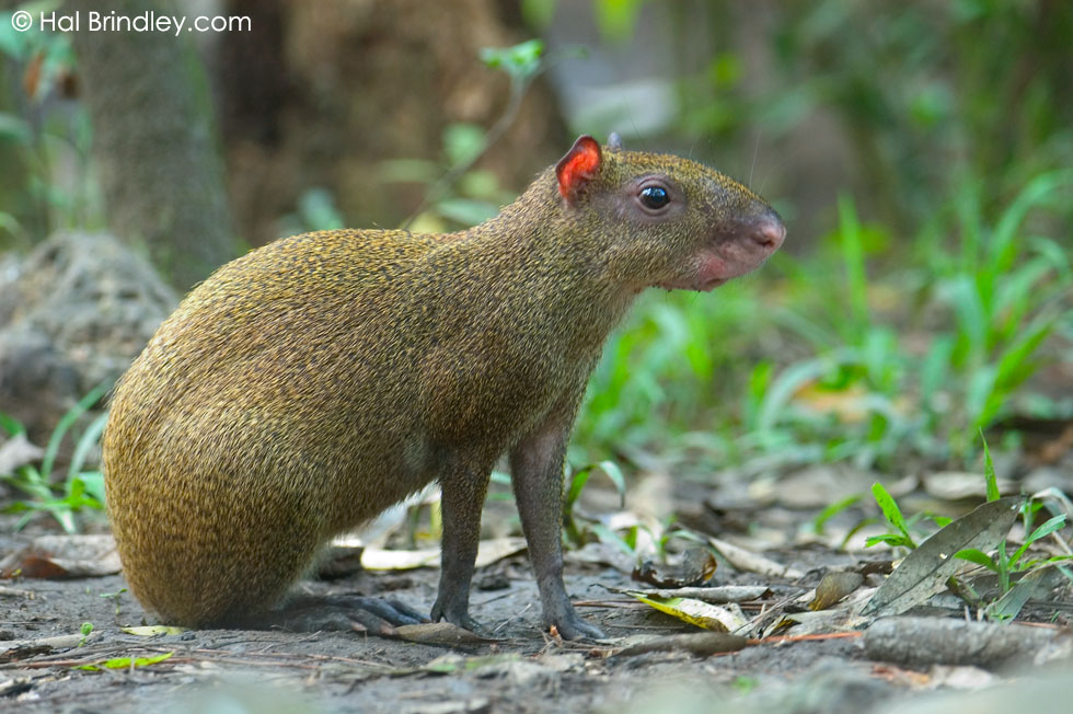 wild Agouti visiting the grounds of the Belize Zoo