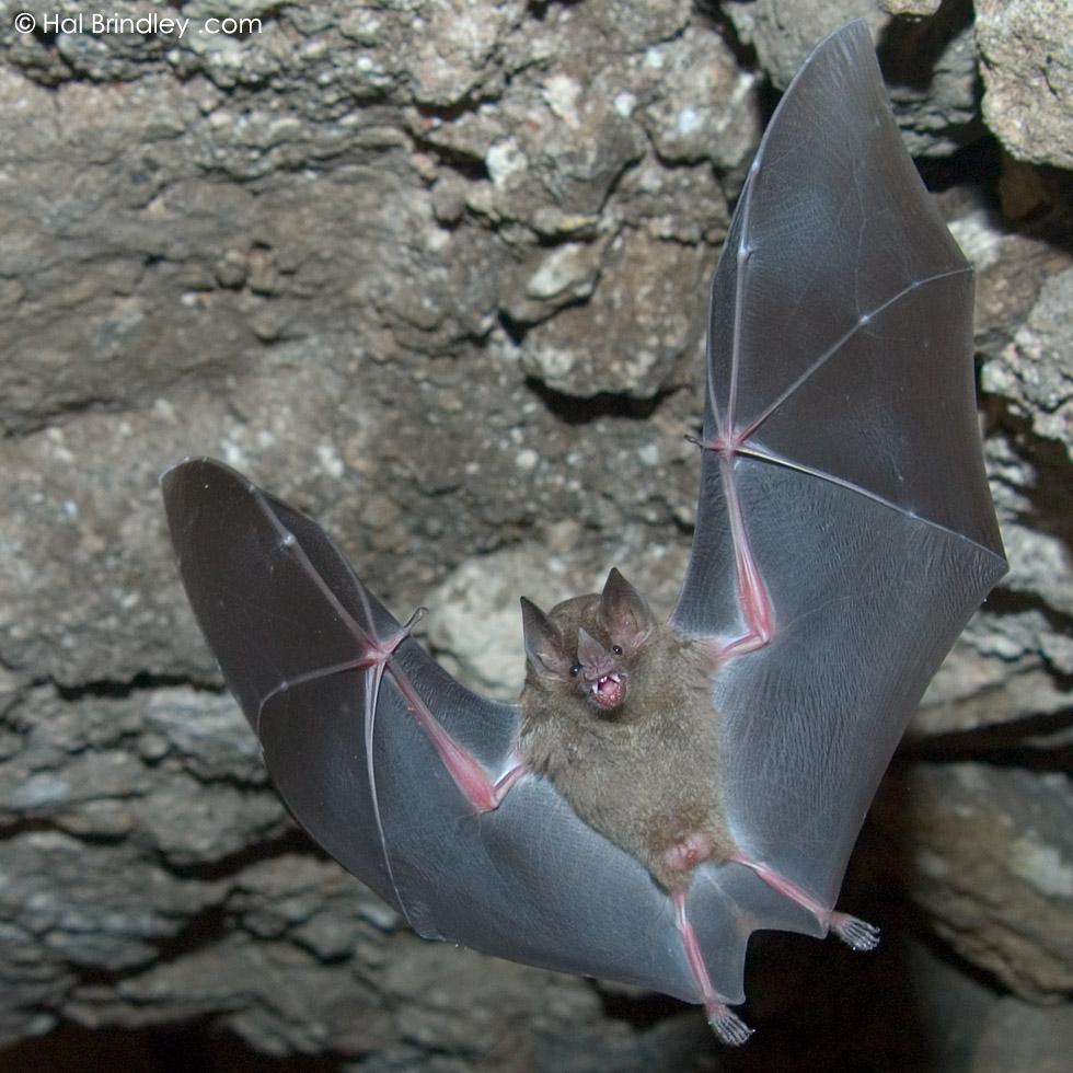 Jamaican Fruit Bat closeup, Tikal National Park, Guatemala