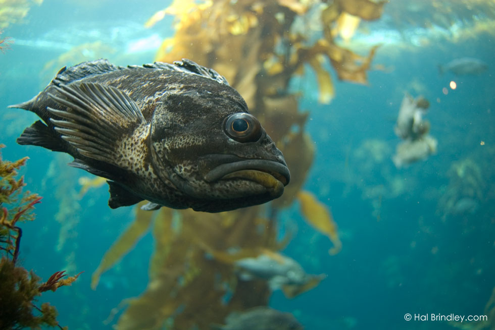 Rockfish (Sebastes spp.) Kelp Forest Exhibit, Monterey Bay Aquarium, Monterey, California, USA © Hal Brindley