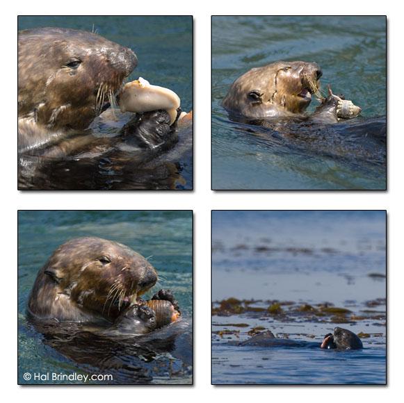 Southern Sea Otter (Enhydra lutris nereis) Morro Bay, California, USA