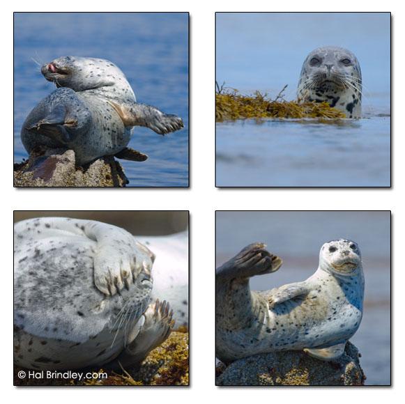 Harbor Seals. Monterey Bay, CA