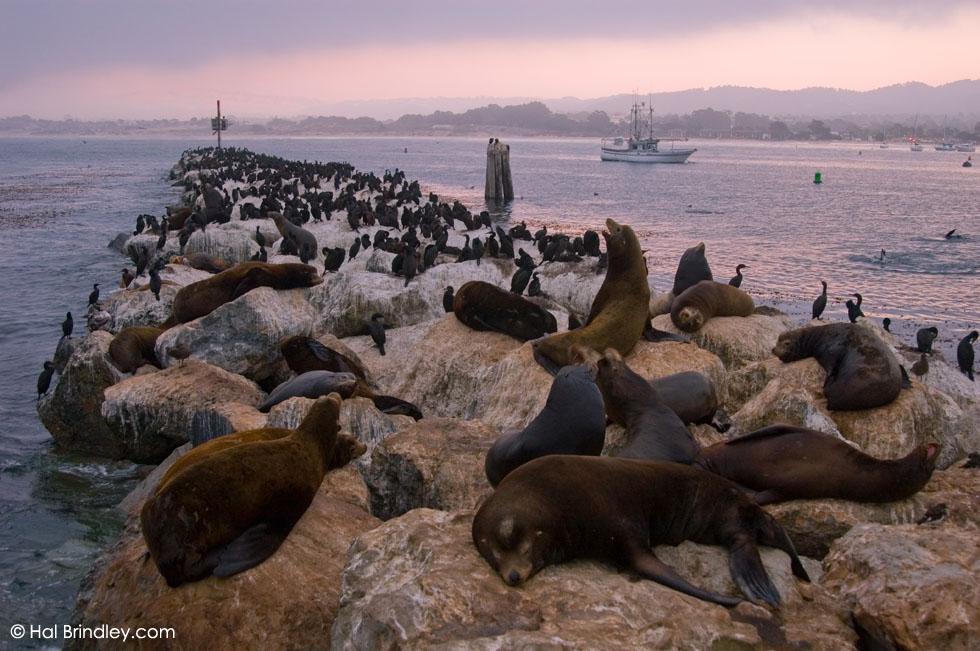 California Sea Lion (Zalophus californianus) at rookery in Monterey, California, USA © Hal Brindley