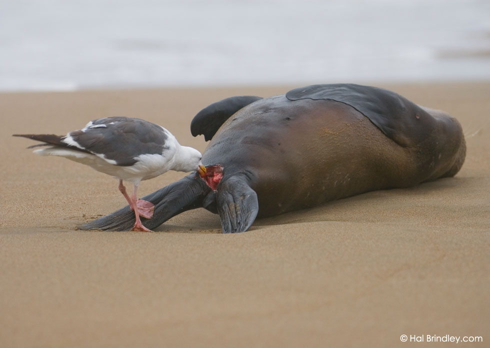 Western Gull (Larus occidentalis)  eating a dead California Sea Lion (Zalophus californianus) on beach at Montaña de Oro State Park, California, USA © Hal Brindley