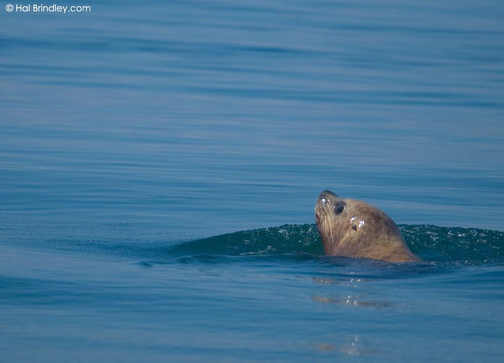 Steller (Northern) Sea Lion (Eumetopias jubatus) Location: Lopez Island, San Juan Islands, Washington, USA © Hal Brindley