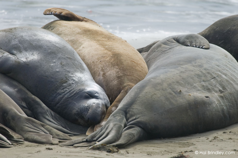 Northern Elephant Seal (Mirounga angustirostris), Piedras Blancas elephant seal rookery, California, USA © Hal Brindley
