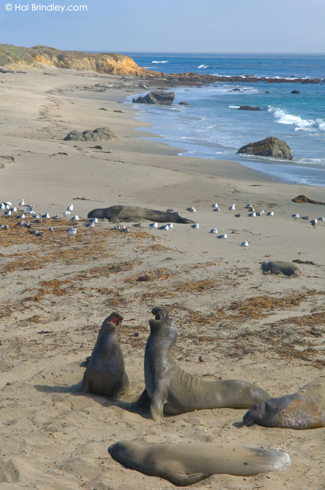 Piedras Blancas elephant seal rookery, California