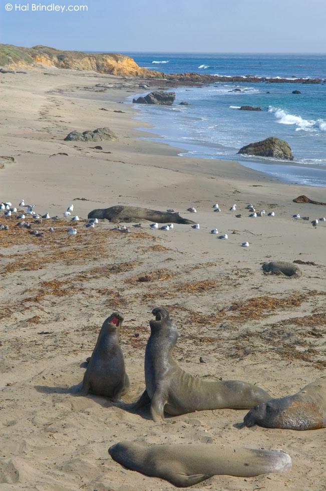 Piedras Blancas elephant seal rookery, California