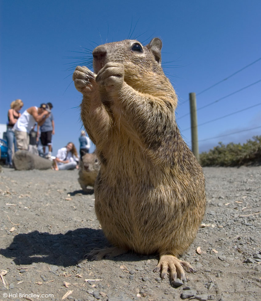 California Ground Squirrel, Piedras Blancas, CA