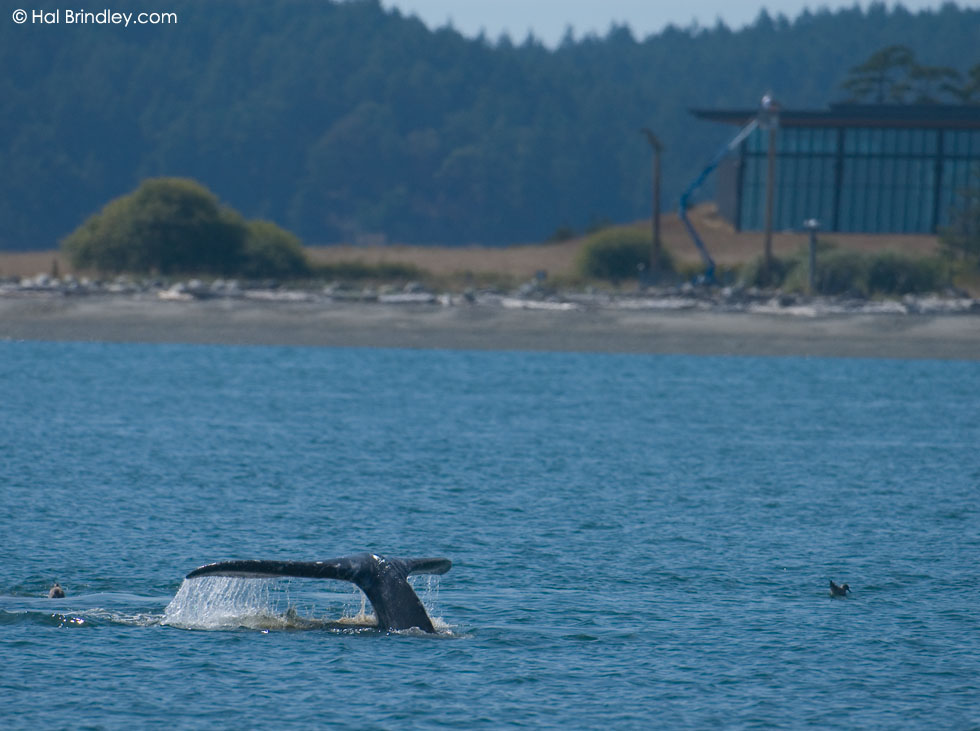 Gray Whale, Lopez Island, Washington