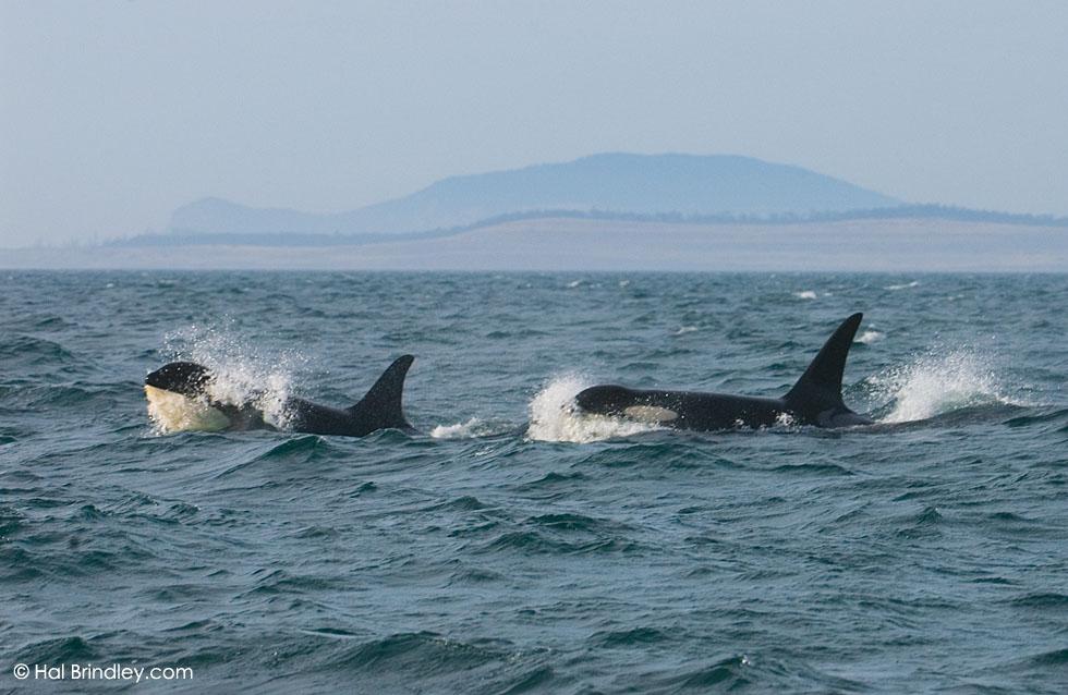 Orcas, Strait of Juan de Fuca near Vancouver Island, Canada © Hal Brindley