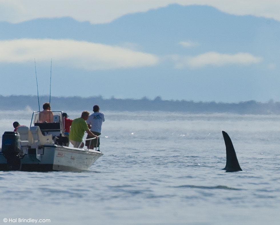 Male Killer Whale dorsal fin