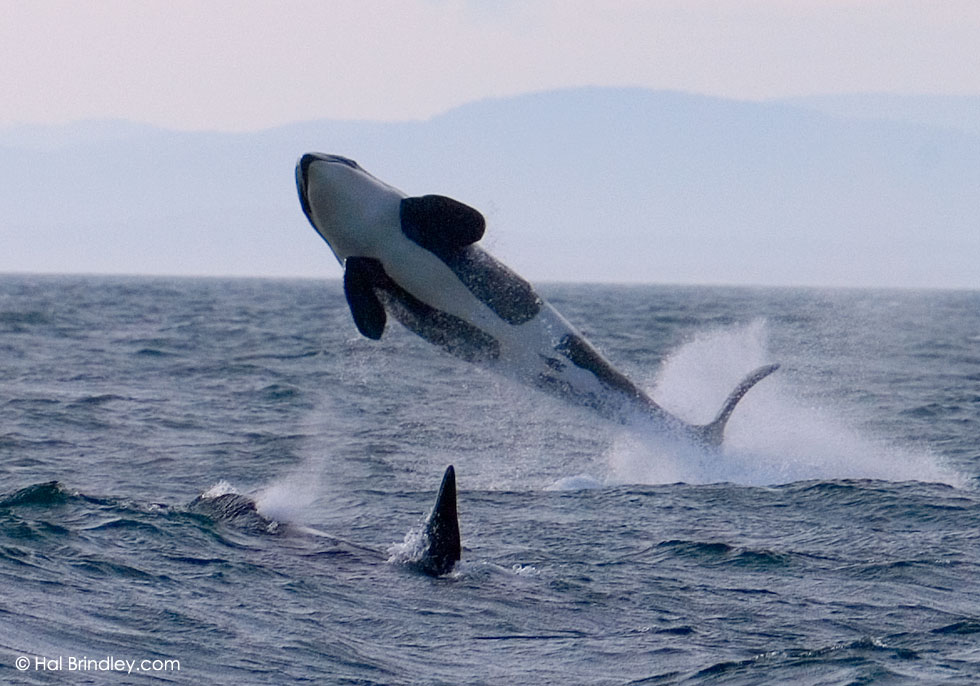Breaching Orca. Strait of Juan de Fuca, off Vancouver Island, Canada