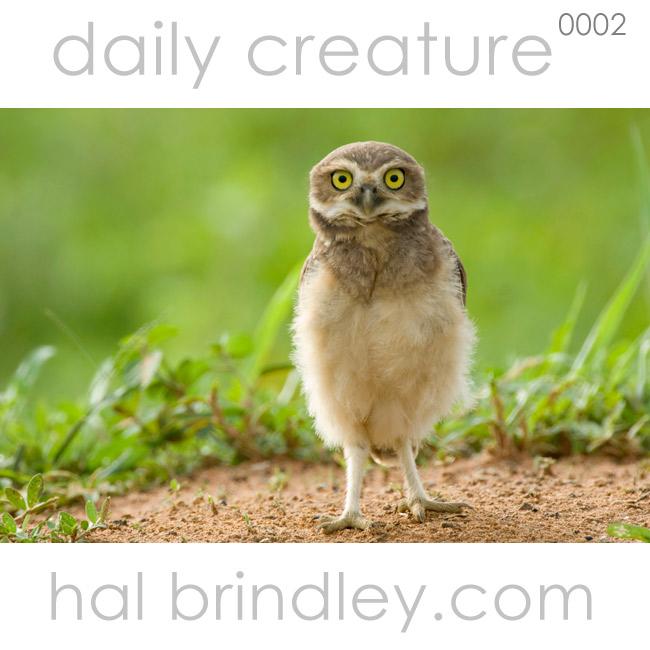 0002-burrowingowl