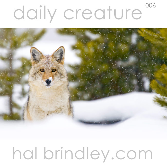 Coyote. (Canis latrans) in a snowstorm in Yellowstone National Park, USA, by Hal Brindley.